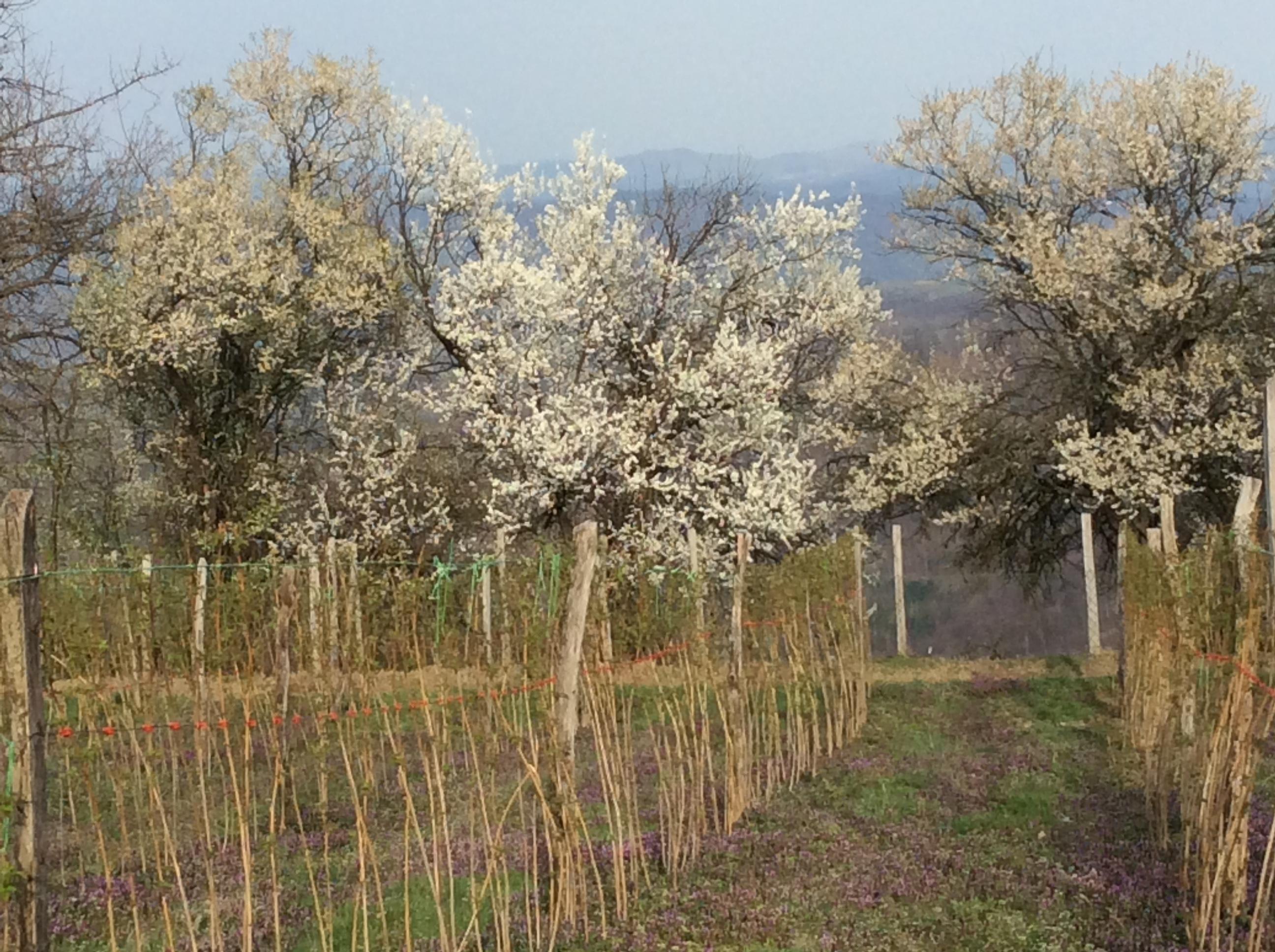Maline i šljive vraćaju na selo sve više Kosjerićana Foto--URP