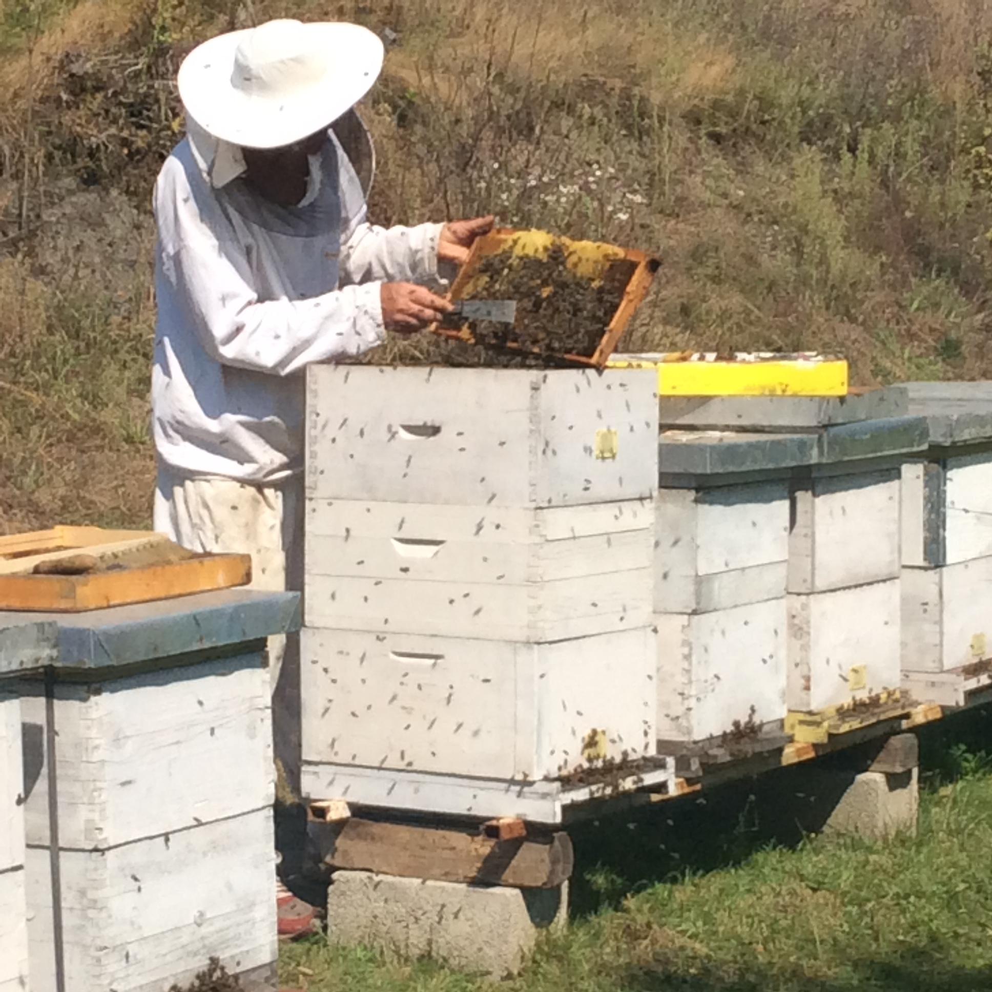 Pčelar je najodgovorniji za stanje svog pčenlinjaka Foto--URP