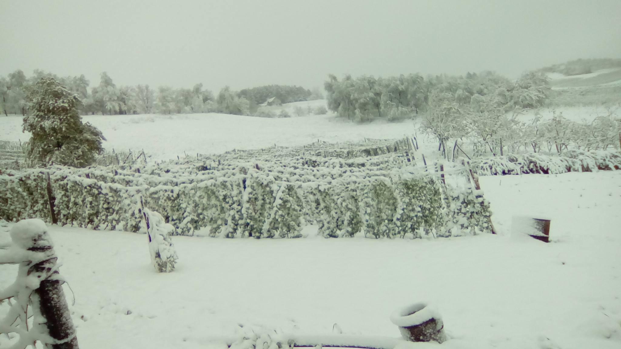 Sneg je noćas prekrio zasade malina na Spasovnjači  Foto--S.Radojević