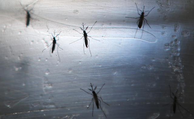 komarci yapr